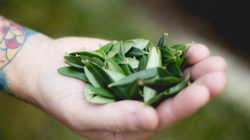Chef Chris Cook Holding Olive Leaves